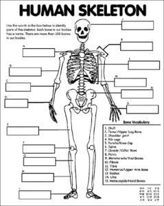Human Skeleton Quiz