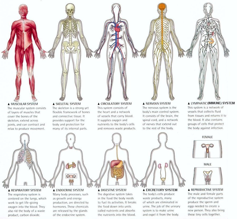 human body systems | know-it-all, Human Body