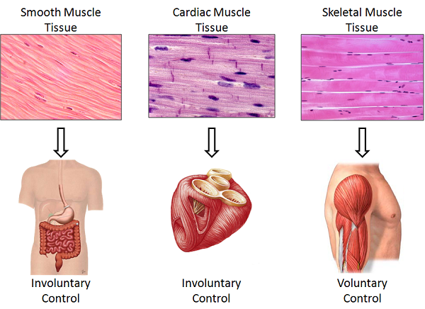 four main tissues of the body