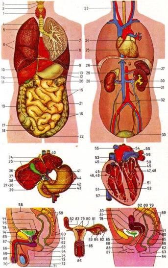 anatomy-human