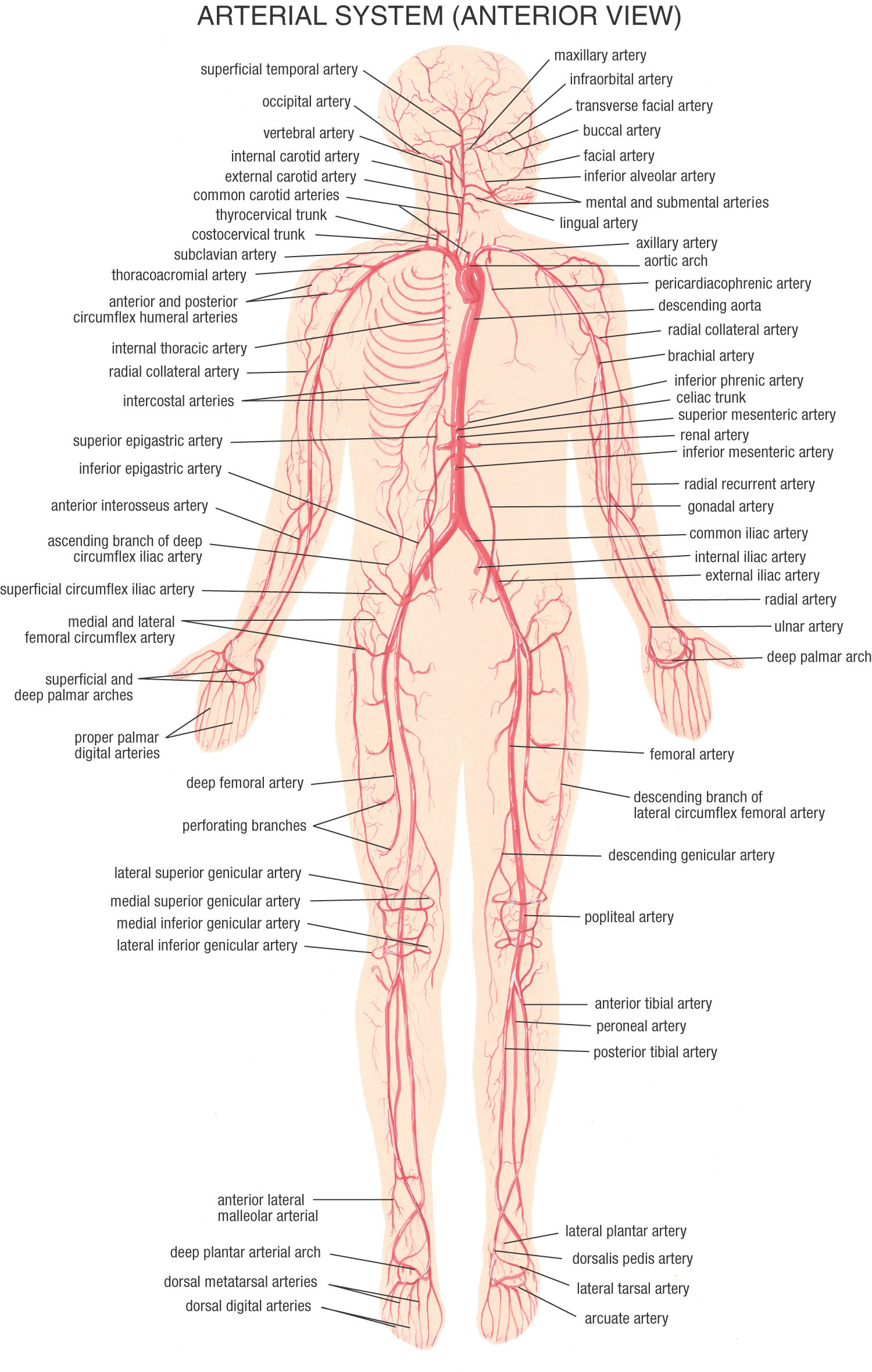 Human Body Arteries And Veins Know It All