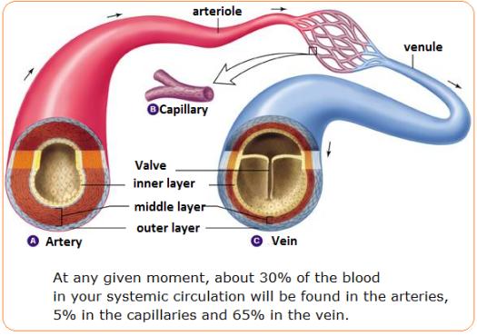 Artery - Capillary - Vein