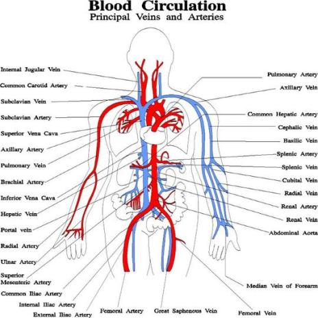 Blood Circulation - Principal Veins and Arteries