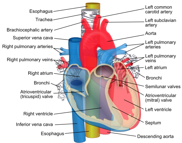 Heart Structures