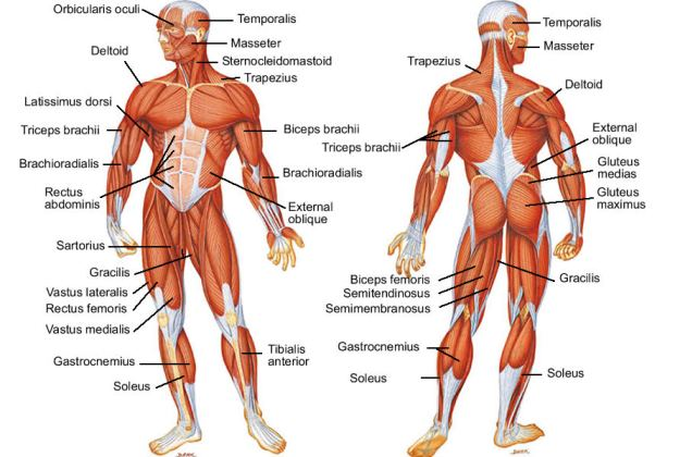 Human Body Muscles Chart