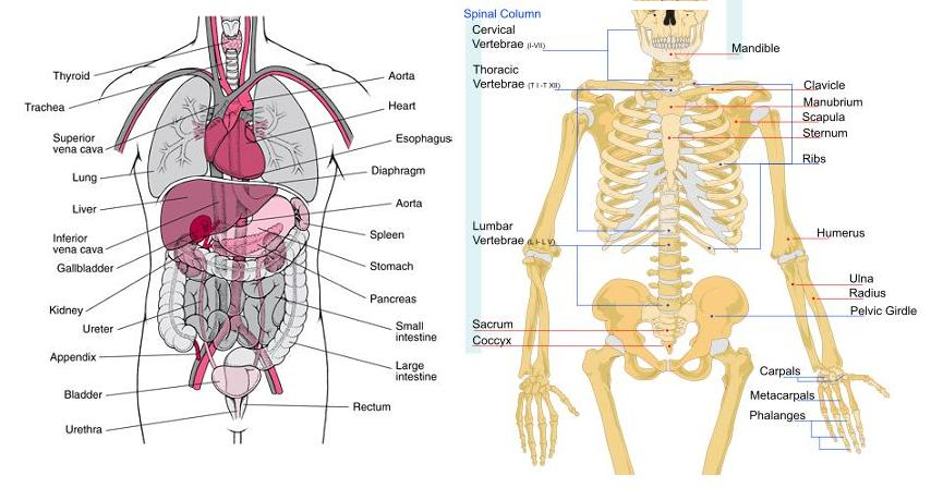 human anatomy | know-it-all, Skeleton