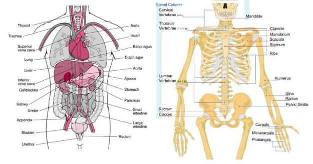 Human Torso - Skeleton and Organs
