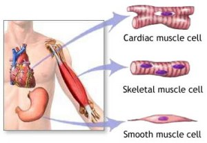 muscle-types