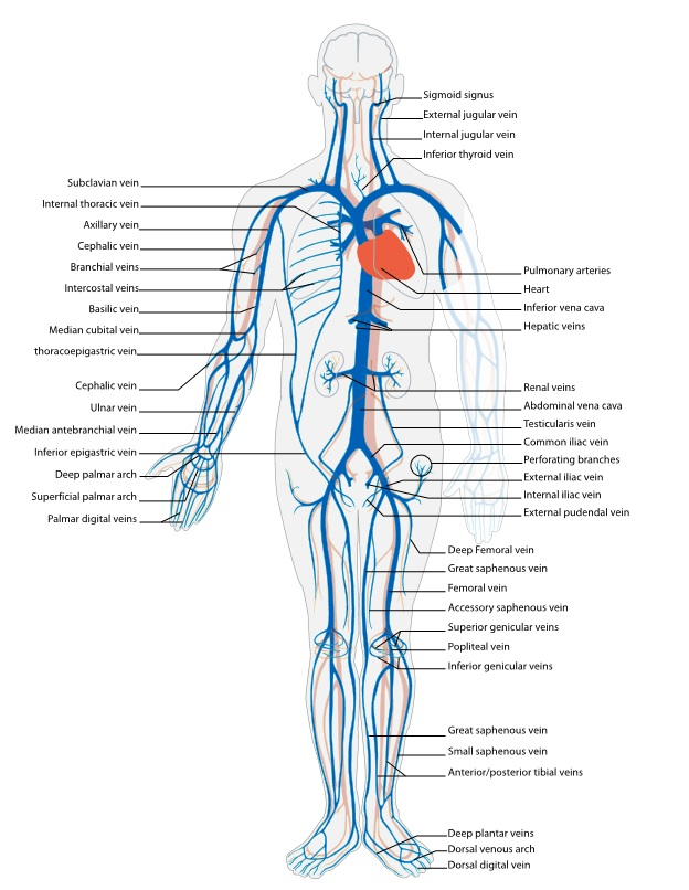 Venous System Body