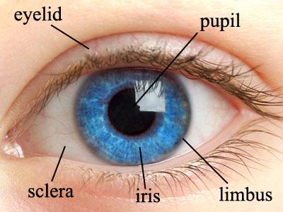 Human-eye-structure1