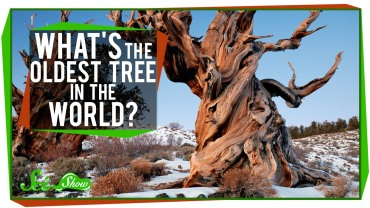 What's the Oldest Tree in the World