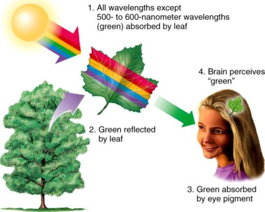Why are Plants Green - Chlorophyll