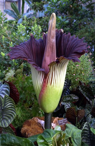 Amorphophallus Titanum up to 7 feet