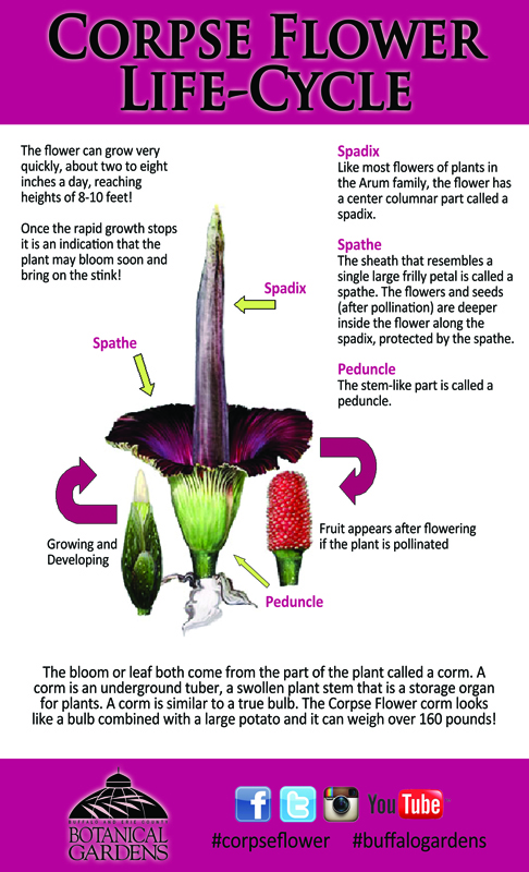 Life-Cycle-of-corpse-flower-from-Buffalo-Botanical-Gardens