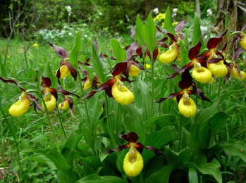 Yellow and Purple Lady Slippers - Cypripedium Calceolus