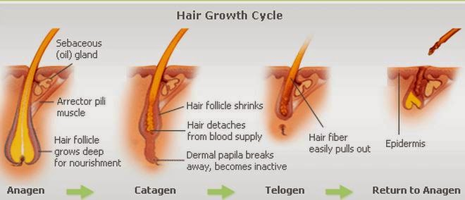 Hair Growth Cycle | Know-It-All