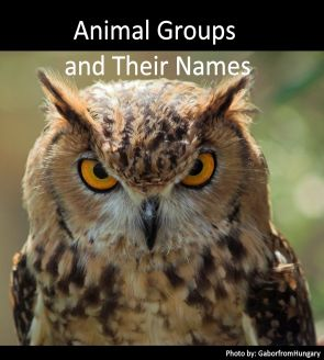 Animal Groups and Owl