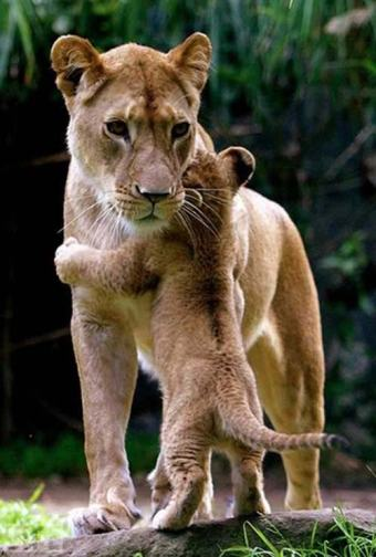 Mama Lion and Baby