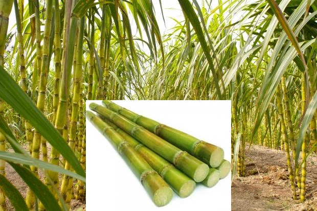 Sugarcane-Production.