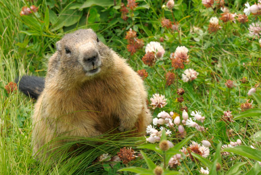 Groundhog in Spring